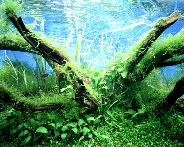 Cuidados del Musgo de Java (Vesicularia dubyana - a pedido de Mauricio) Troncos%20con%20musgo