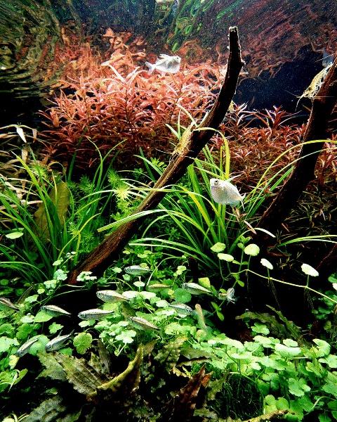 La Turba en el acuario Planta
