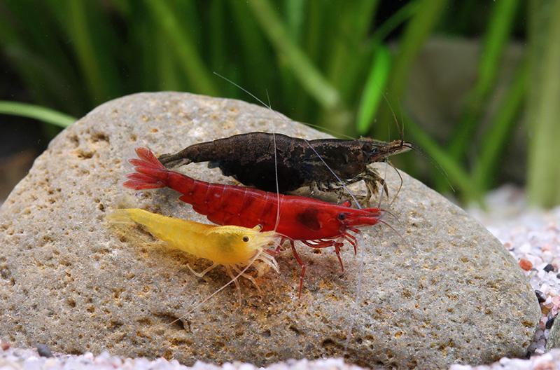 Neocaridina heteropoda var. Black, Red, Orange