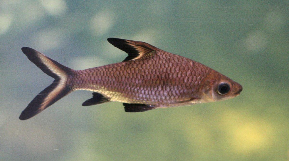 Tiburon Bala