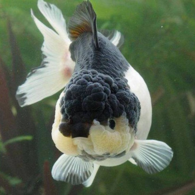 Alimentaci n de peces de agua fria acuaristas for Peces de agua fria koi