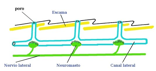 neuromasto