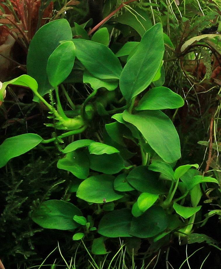 pag19-anubia, otro ejemplo planta adaptable a difs iluminacion