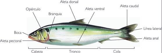 partes del pez