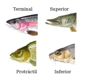 peces_forma_boca