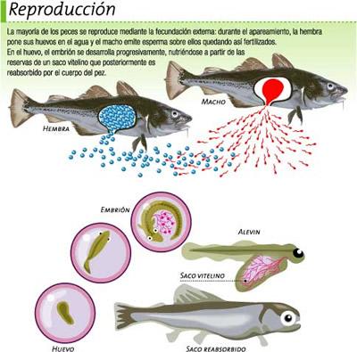 reproduccion_peces