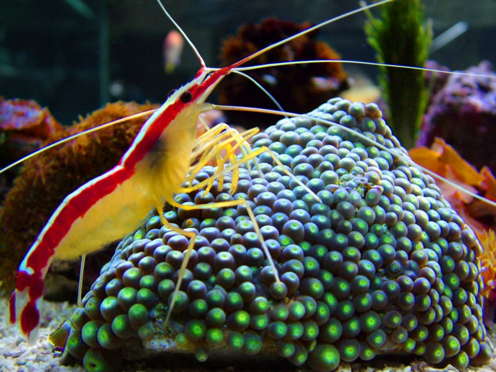 Cleaner_Shrimp_on_zoanthus_macro