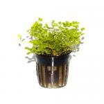 Micranthemum-Umbrosum