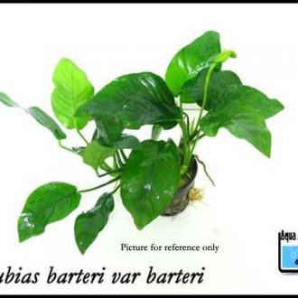 anubias-barteri-var-barteri-aquashop-1011-12-Aquashop@11