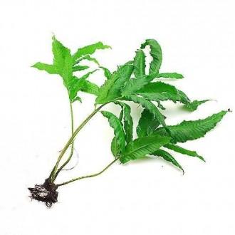 bolbitis-heteroclita-oknawa-plantas-aquaticas-frete-800-14071-MLB228814231_1151-O