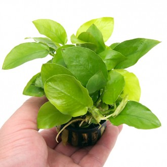 5 anubias barteri nana golden 30-40 leaves- live aquarium plant water moss fish