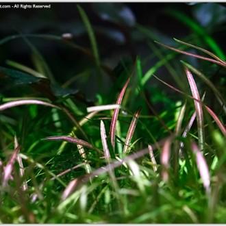 Echinodorus-tenellus