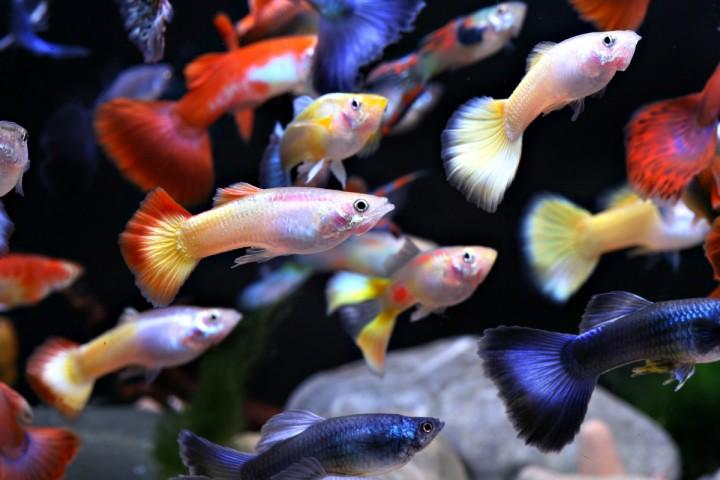 Los viviparos en el acuario acuaristas for Pileta con peces