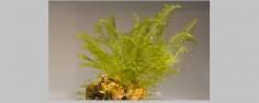 Tratamiento bryopsis plumosa