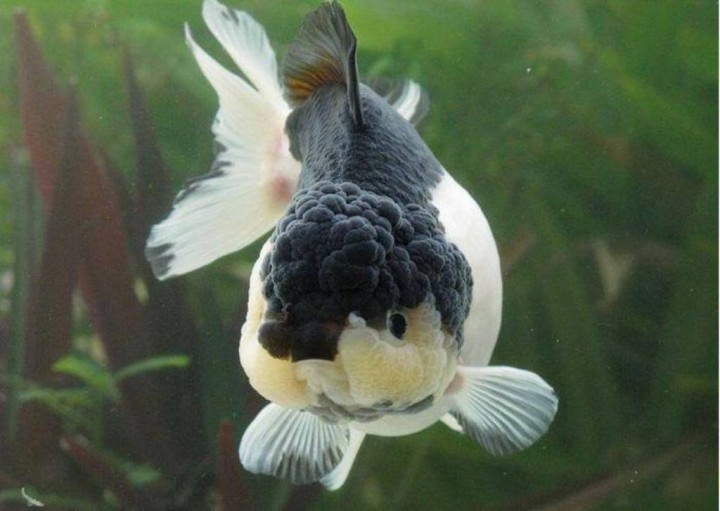 Alimentaci n de peces de agua fria acuaristas for Peces de agua fria carassius