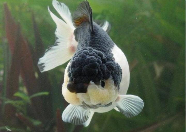 Alimentaci n de peces de agua fria acuaristas for Peces para peceras pequenas agua fria