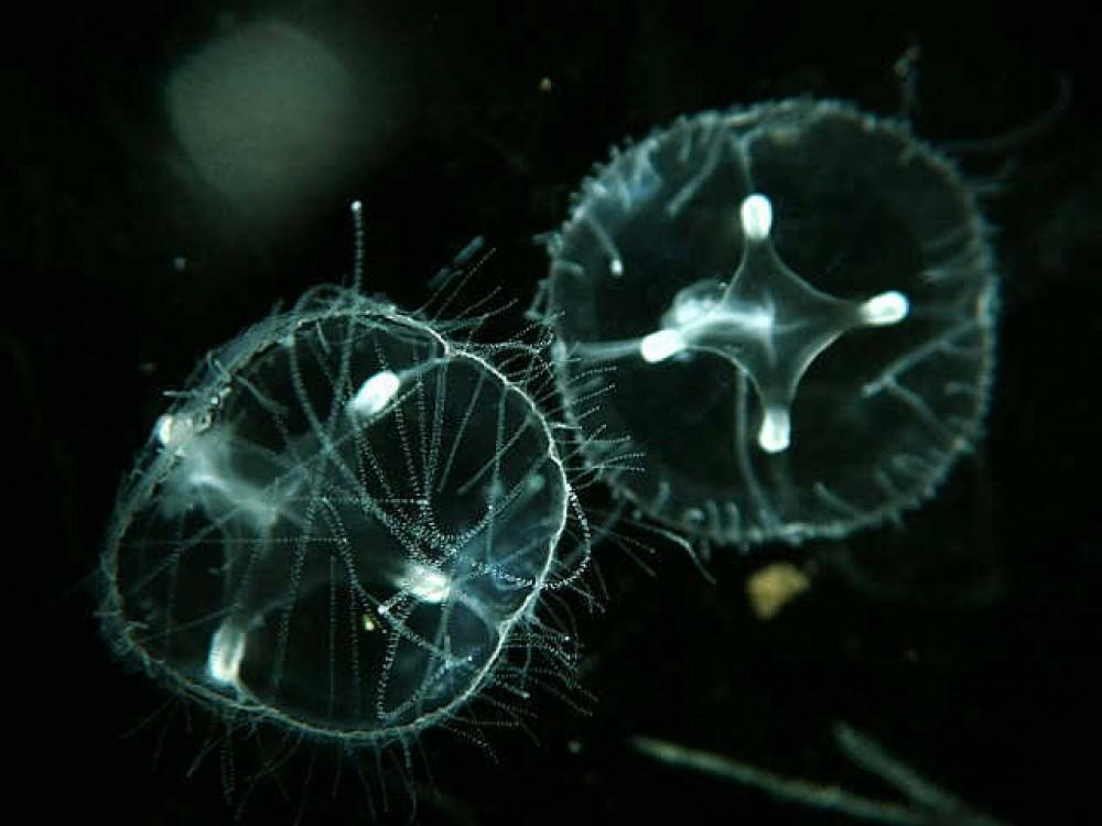 Medusas de Algua Dulce