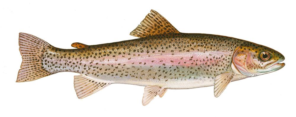 Guíamáxima ¿Que es un pez?
